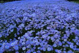 夏の山里に咲く幻の花  京都久多の北山友禅菊