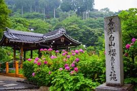 京都市街から少し足を延ばして「大原野」へ  西山の古刹「善峯寺」であじさいに囲まれるひととき