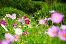 青空のもと秋風に揺れるコスモス 京都府立植物園
